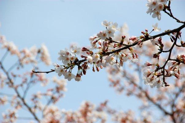 Sakura Season, Japan